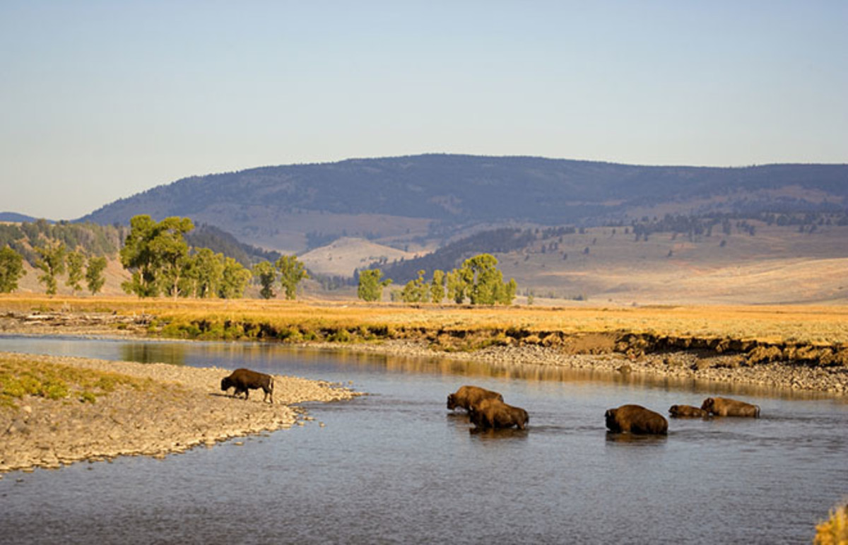 Bison ford the Yellowstone River. (Photo: Fred LaBounty/Shutterstock)