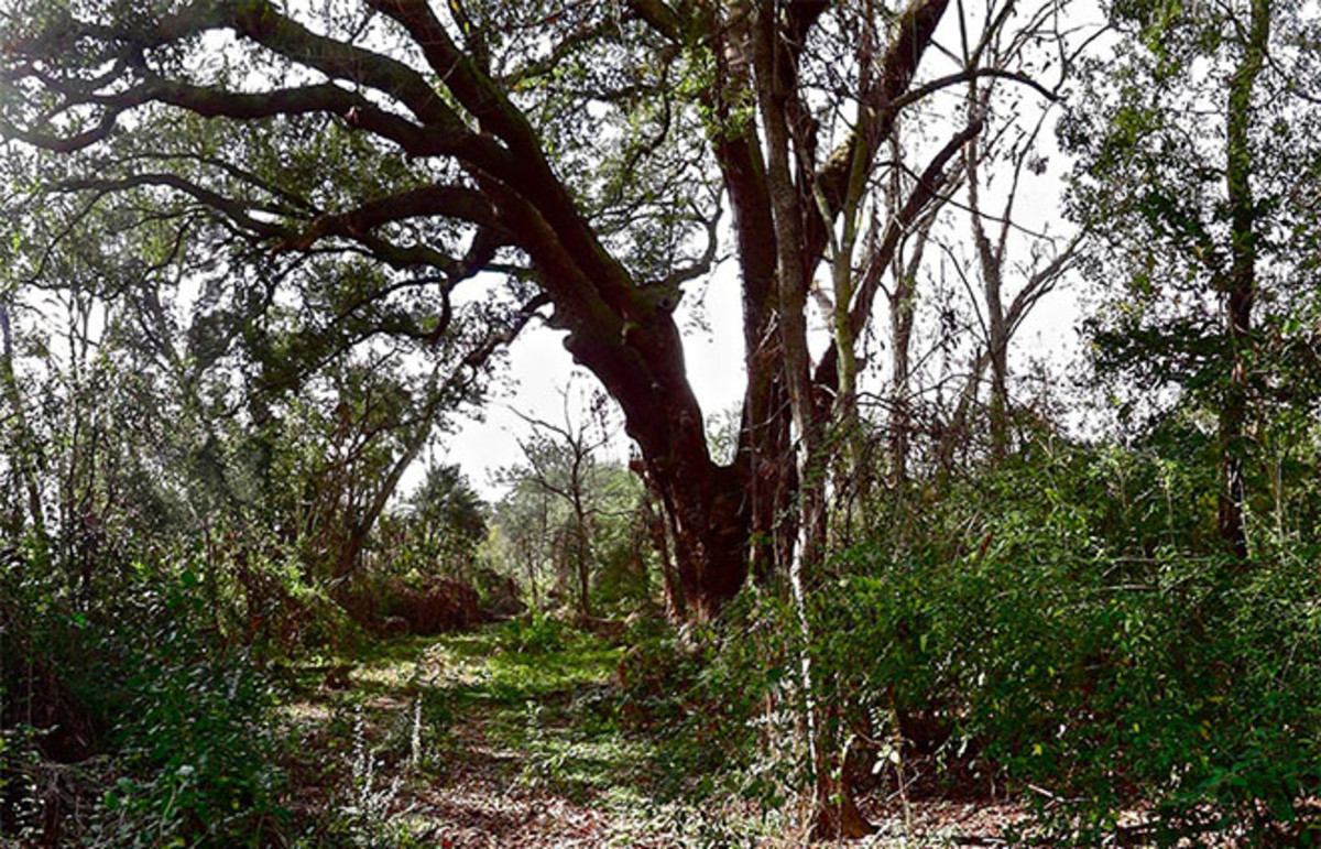 Lynching Tree, 2013. (Photo: Steve McQueen)