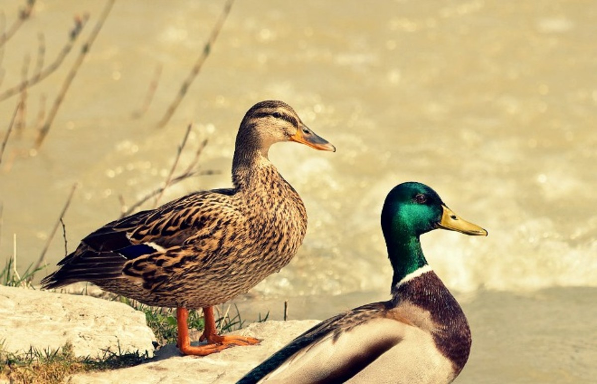 Duck sex is an important scholarly endeavor. (Photo: Richard Bartz/Wikimedia Commons)