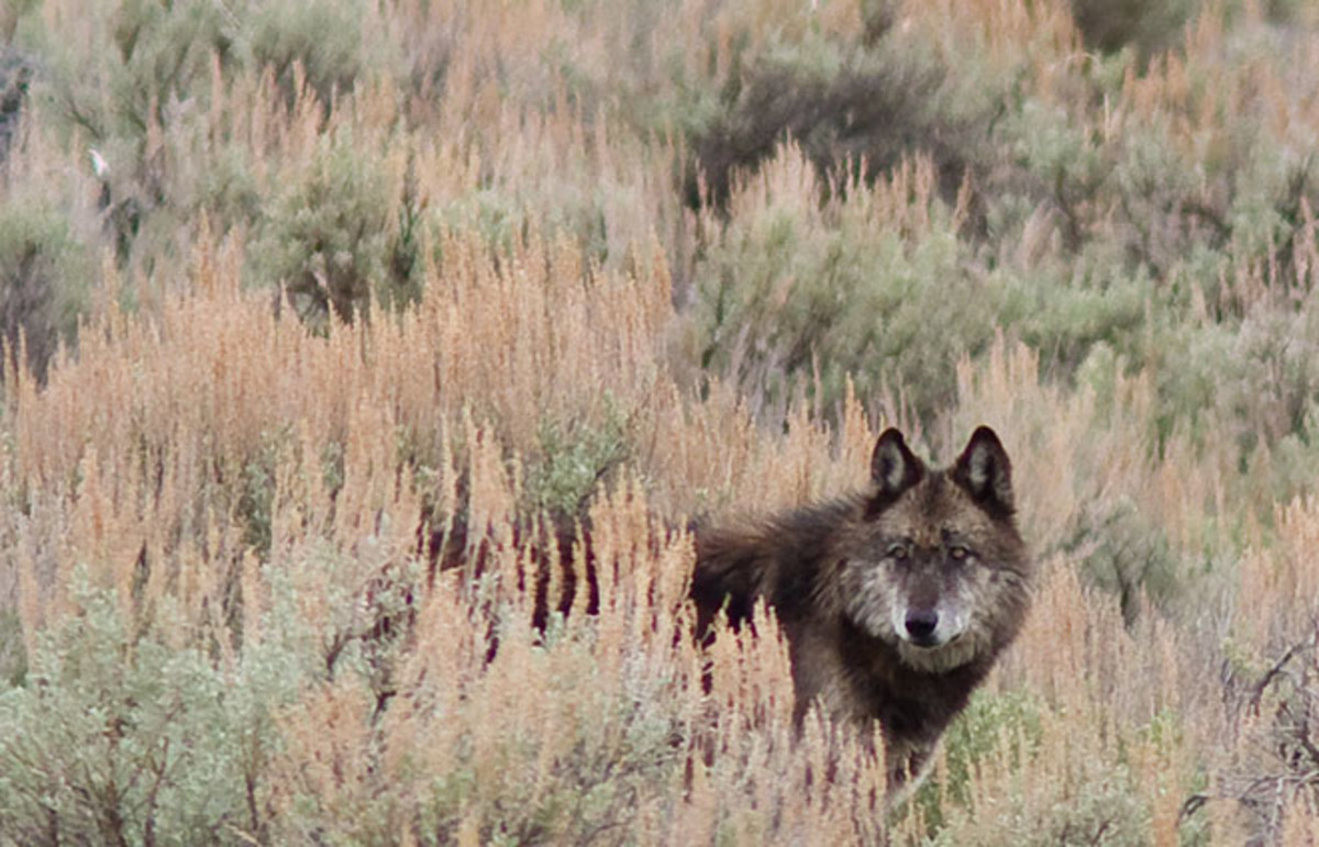 Gray wolf in Yellowstone. (Photo: Jean-Edouard Rozey/Shutterstock)