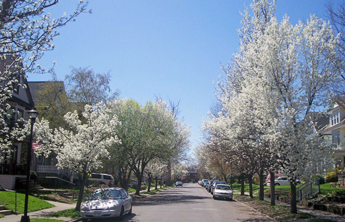 Cherry blossom trees in Buffalo, New York, in bloom. (Photo DragonFire1024/Wikimedia Commons)