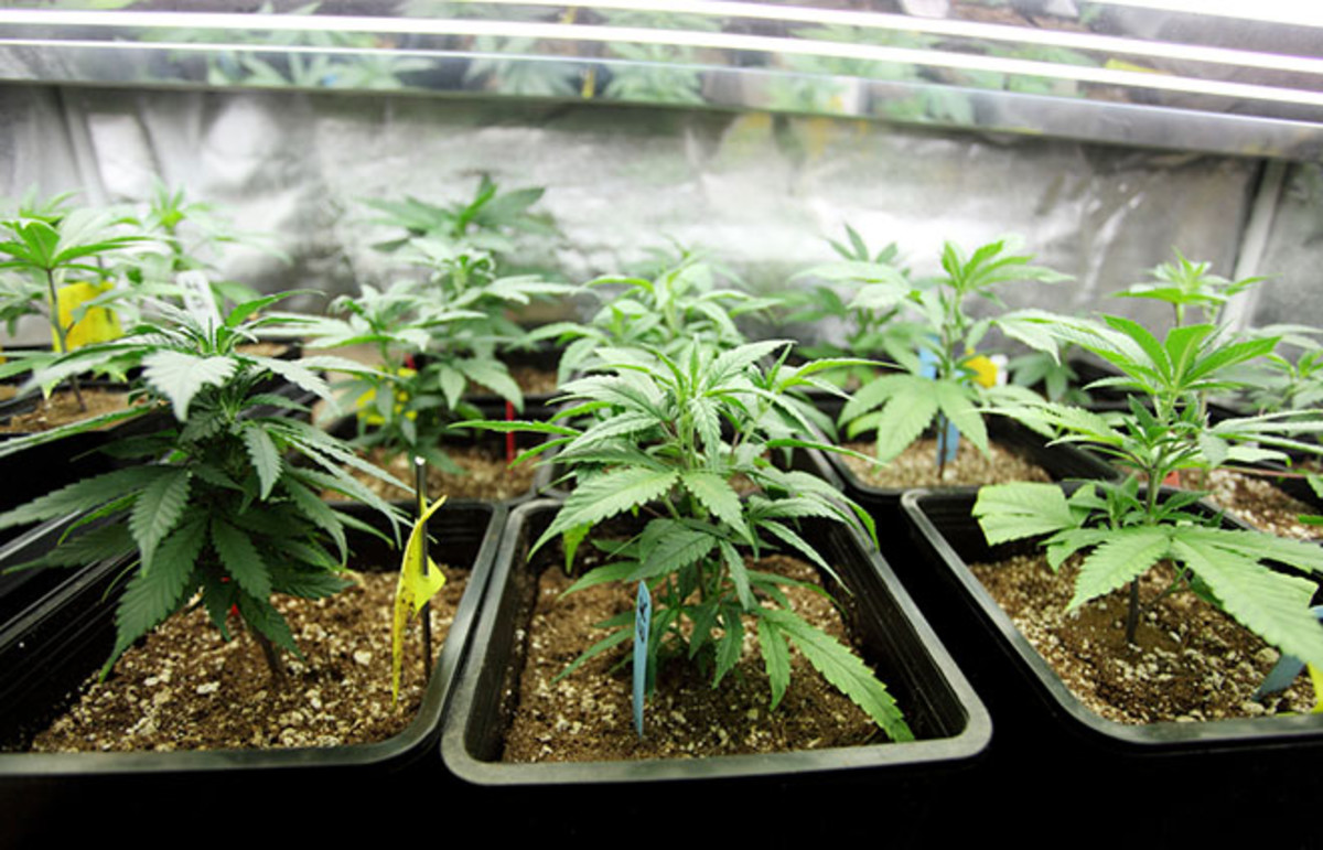 Marijuana crop growing indoors. (Photo: Peter Kim/Shutterstock)