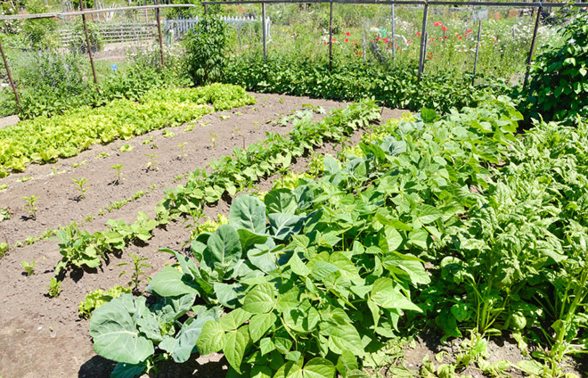 Community gardens can be instrumental in providing a way for low-income immigrant communities to gain food security. (Photo: Alison Hancock/Shutterstock)