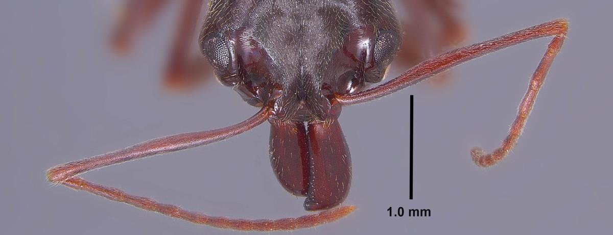 Odontomachus_haematodus_mandibles.jpg
