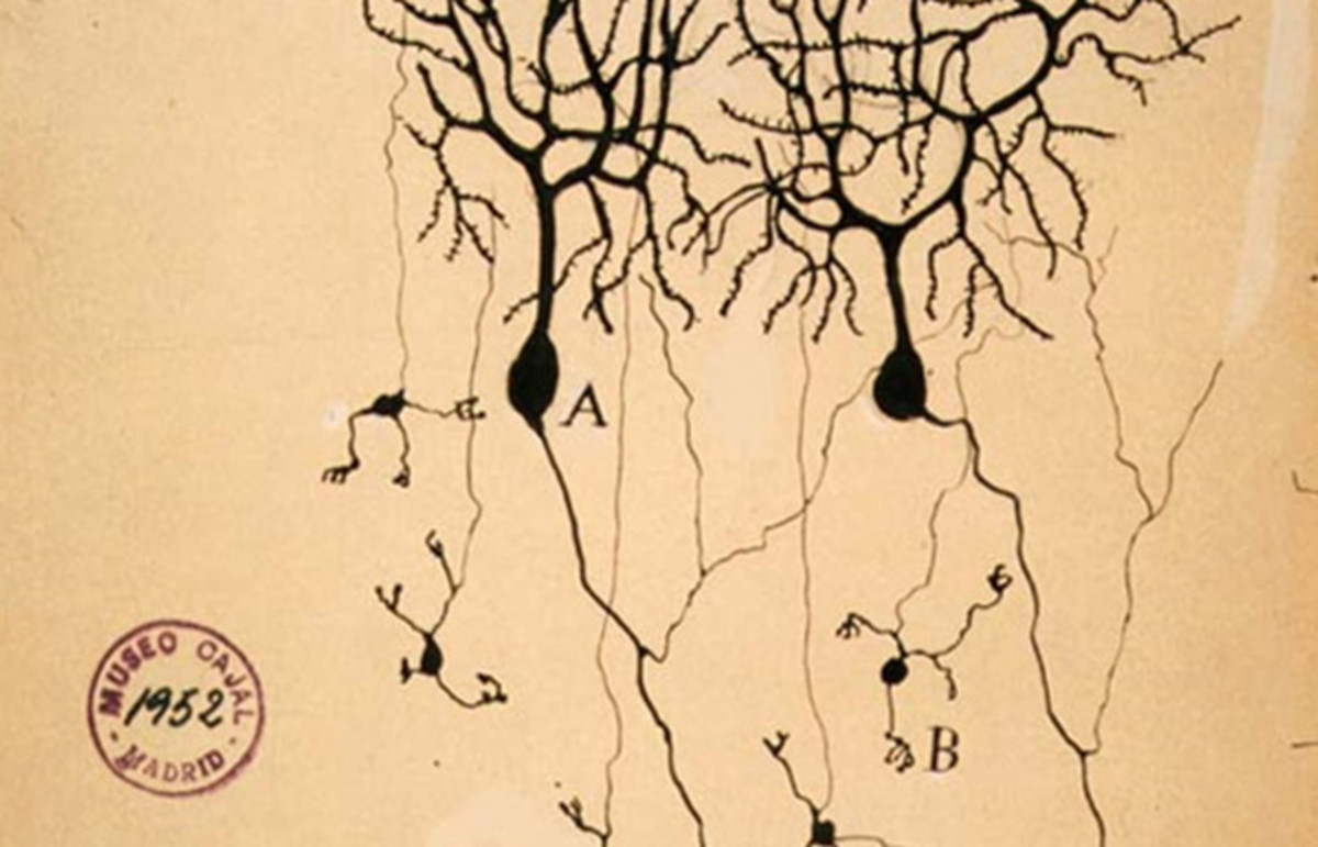 Drawing by Santiago Ramón y Cajal of two types of Golgi-stained neurons from the cerebellum of a pigeon. (Photo: Public Domain)