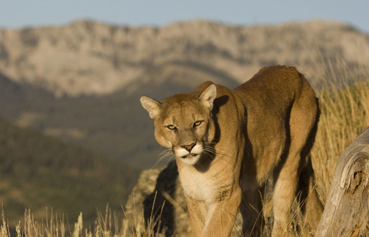 Mountain lion. (Photo: creativex/Shutterstock)