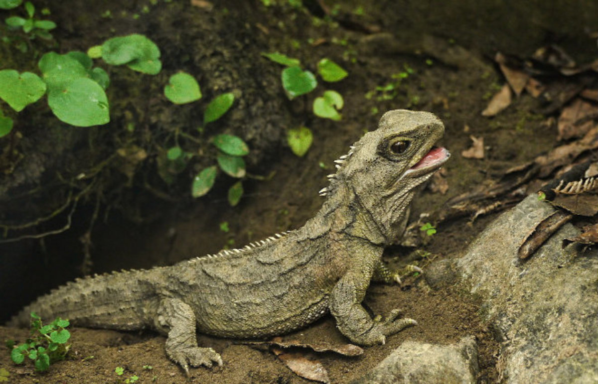 The tuatara reptile, photographed at Nga Manu Reserve near Waikanae. (Photo: Sid Mosdell/Flickr)
