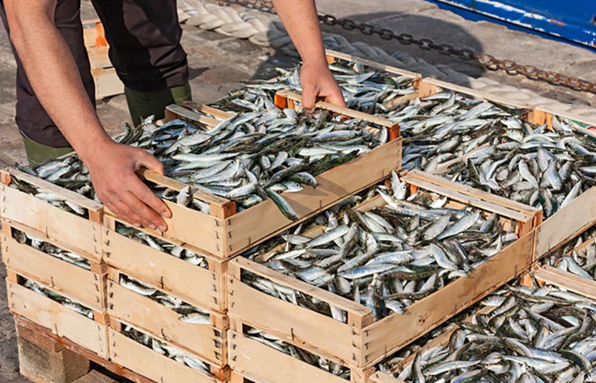 Mediterranean sardines. (Photo: ermess/Shutterstock)
