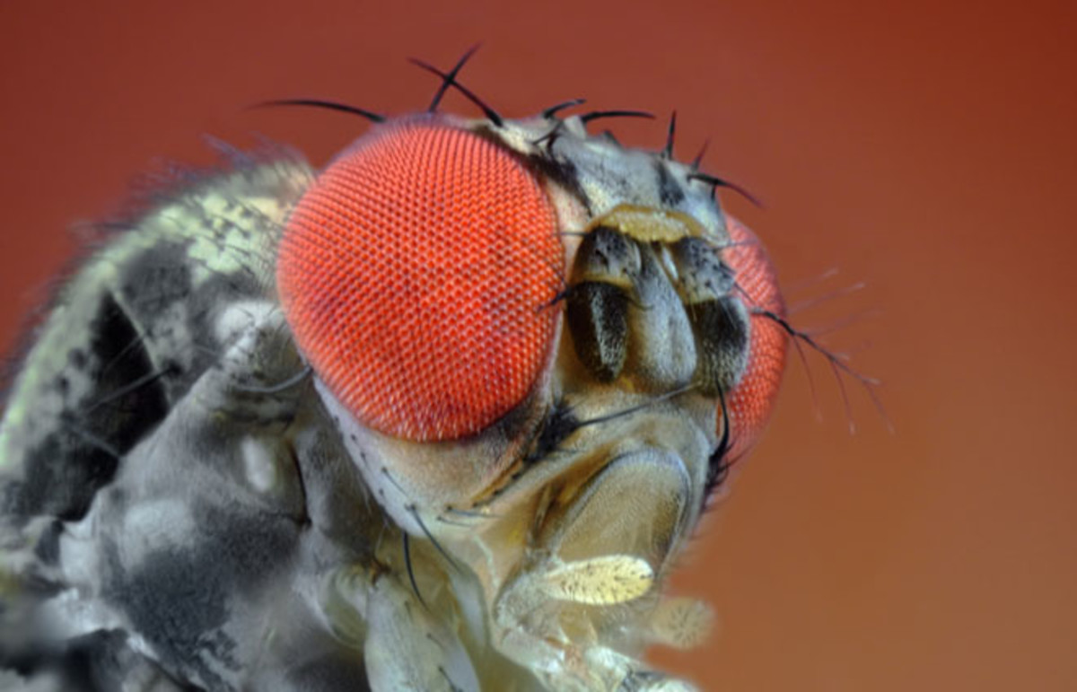 Small fruit fly seen through extreme magnification. (Photo: Sebastian Janicki/Shutterstock)