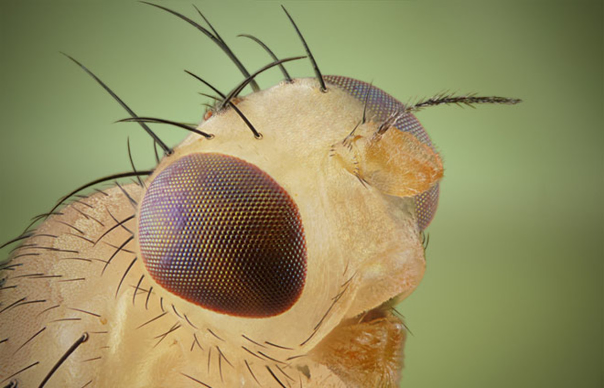 Small fruit fly seen through extreme magnification. (Photo: Craig Taylor/Shutterstock)