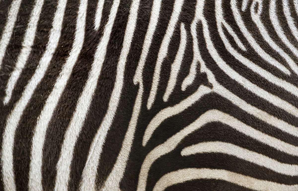 How The Zebra Got Its Stripes And The Leopard Its Spots Pacific