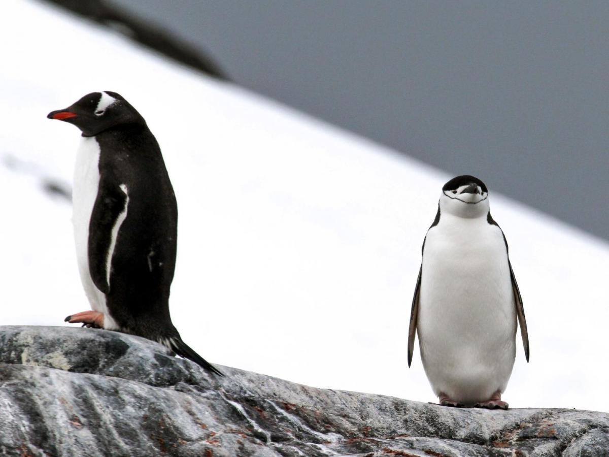 The gentoo penguin's (left) adventurous eating habits are likely why it's adapting better to a warmer environment than the picky chinstrap penguin (right). (Photo: Rachael Herman/LSU)