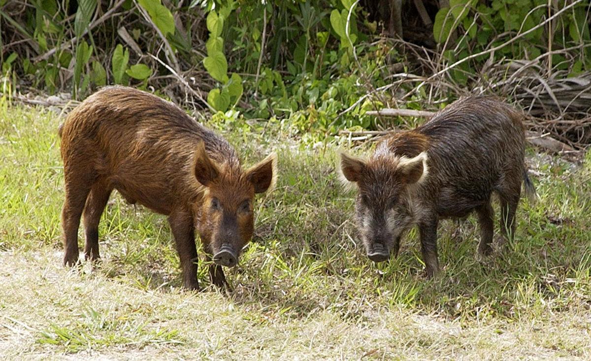 A pair of feral pigs on Merritt Island, Florida. (Photo: NASA/Public Domain)