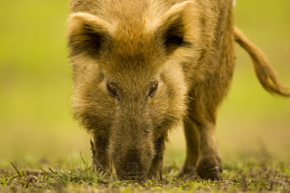 A feral hog on the Rio Vista Bluff Ranch in McFadden, Texas. (Photo: Fred LaBounty/Shutterstock)