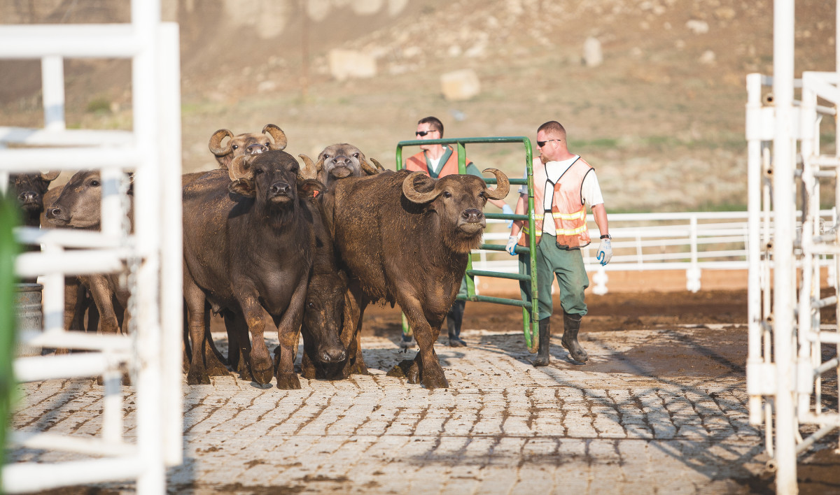 HOOFING IT: If you have eaten buffalo mozzarella in the U.S., there is a good chance you have eaten the product of inmate labor: Canon City houses the nation's largest water-buffalo dairy. (Photo: Barry Staver)