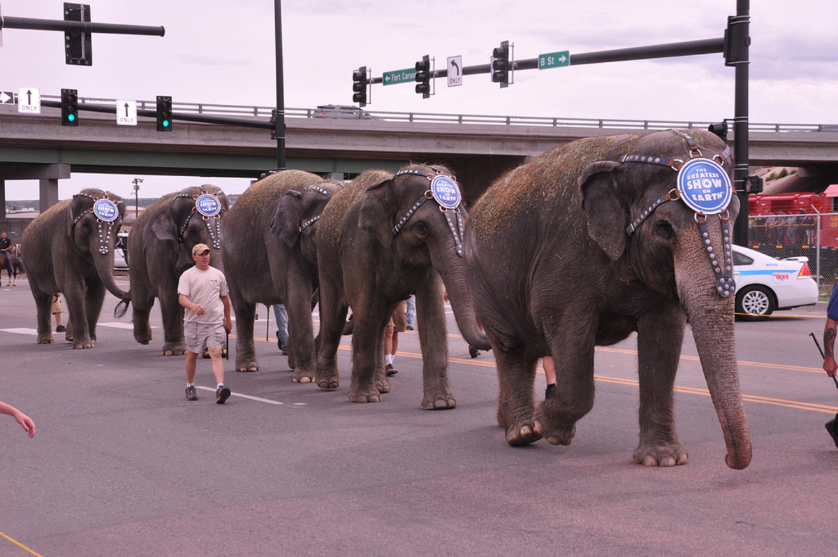 Elephants from the Ringling Bros. and Barnum & Bailey Circus begin the walk from the circus train to the arena in Colorado Springs, Colorado. (Photo: Fort Carson/Flickr)