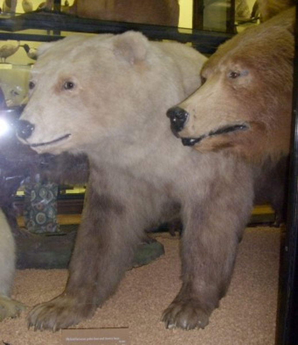 Polar/brown bear hybrid on display at the Natural History Museum at Tring in the United Kingdom.