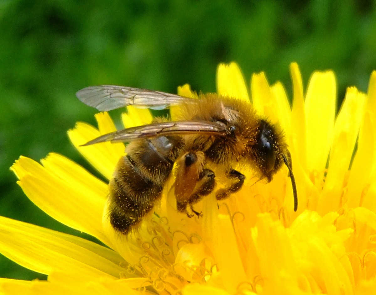 Honey bee on a dandelion. (Photo: Orangeaurochs/Flickr)