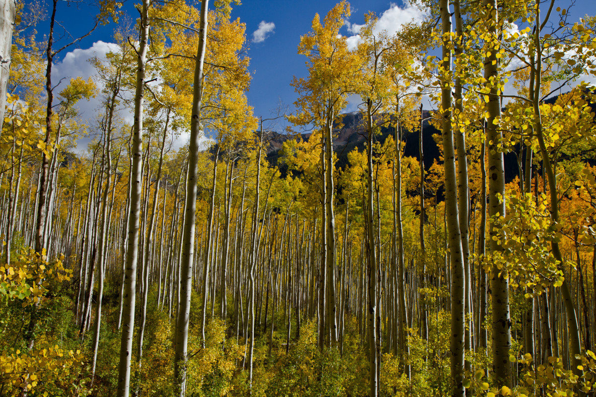 The Trembling Aspen Is In Trouble Pacific Standard