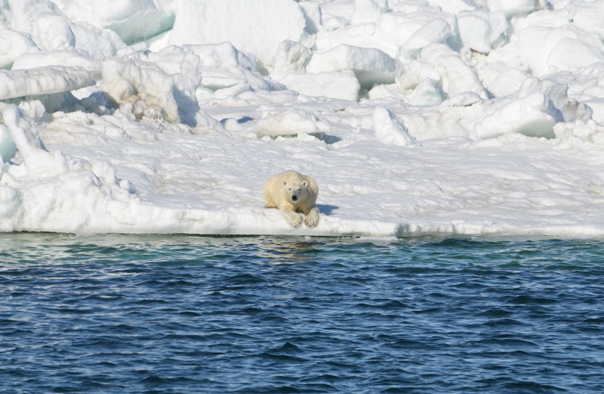 This polar bear relaxes after a swim in the Chukchi Sea. (Photo: Brian Battaile/U.S. Geological Survey)
