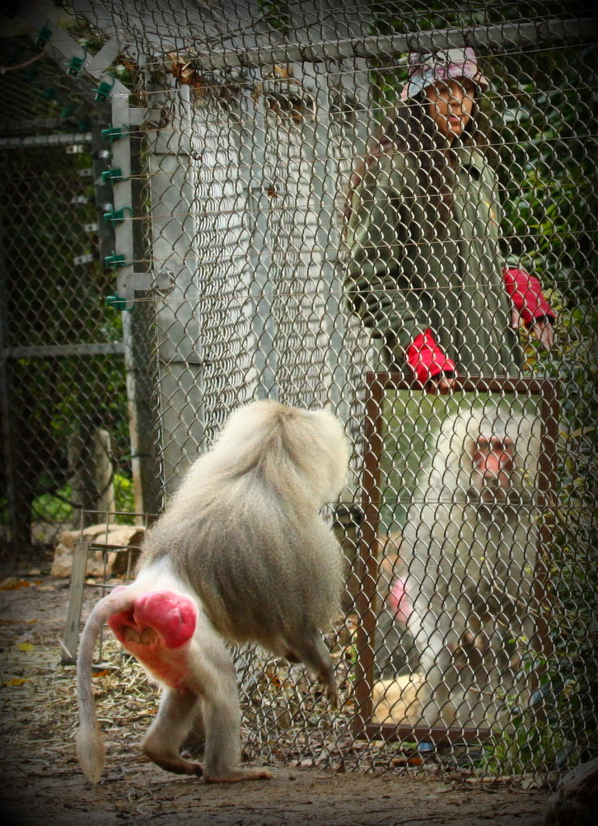 A baboon performs the mirror test. (Photo: Moshe Blank/Wikimedia Commons)