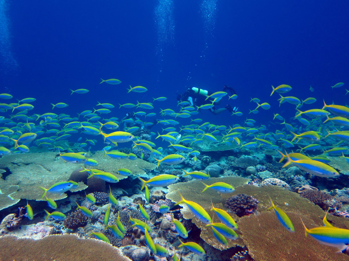 A school of yellow back fusilier swim over a reef in the Chagos archipelago. (Photo: Nick Graham)