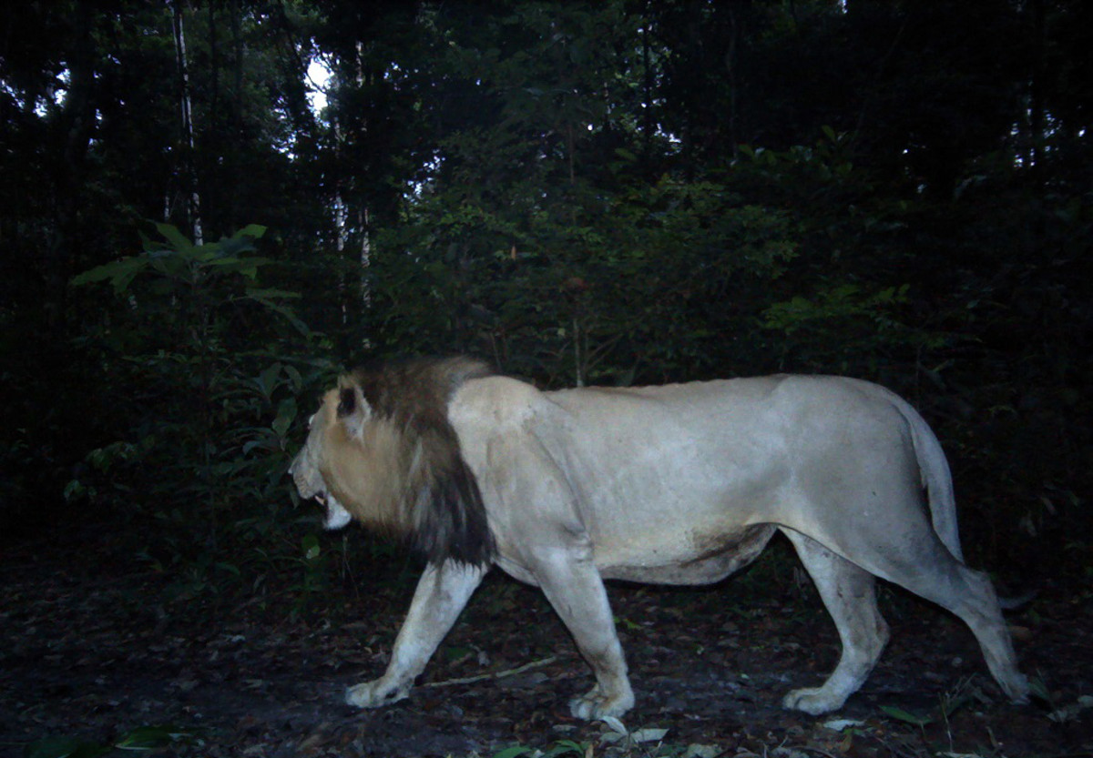The forest lion of Gabon, captured by a remote video camera. (Photo: Philipp Henschel/Panthera)