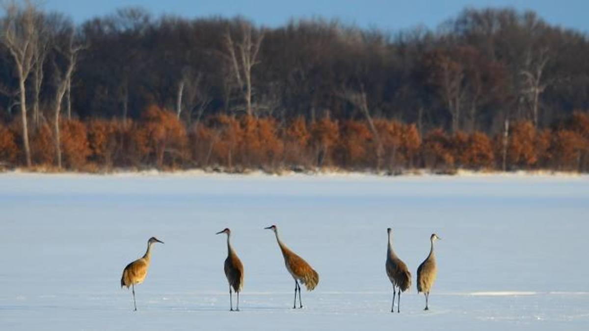 The Sandhill Cranes at the Cedar Creek Ecosystem Science Reserve. (Photo: Cedar Creek Ecosystem Science Reserve)