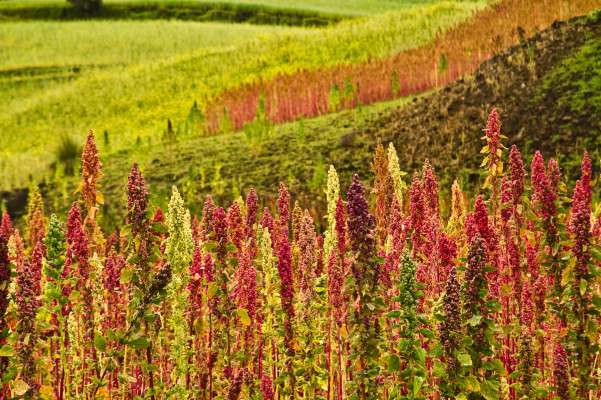 Quinoa plantations in South America. (Photo: Fotos593/Shutterstock)