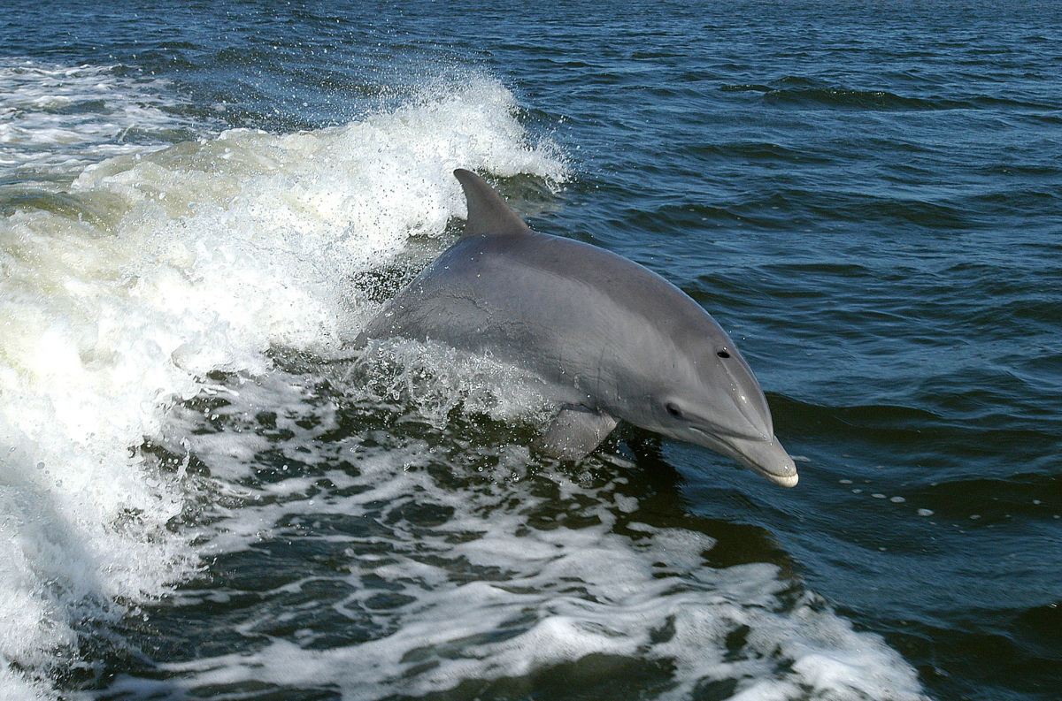 A bottlenose dolphin breaching in the bow wave of a boat. (Photo: NASA/Public Domain)
