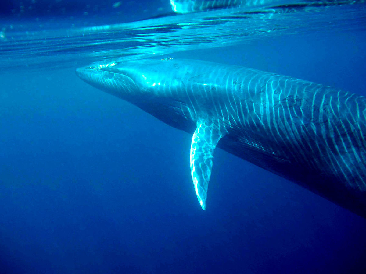 An underwater view of a Bryde's whale. (Photo: Morningdew/Wikimedia Commons)