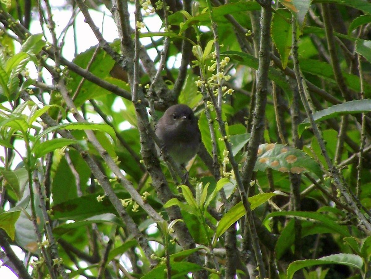 Juvenile Grey Warbler in Cambridge, New Zealand. (Photo: Nz nature Lover/Wikimedia Commons)