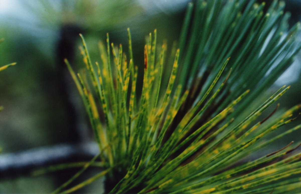 A pine tree's needles damaged by smog. (Photo: U.S. Forest Service)