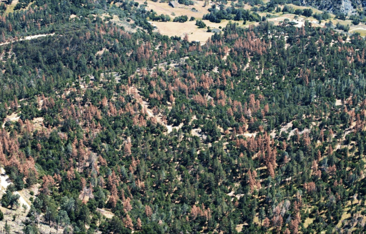 Dead pines in the Los Padres National Forest. (Photo: U.S. Forest Service)