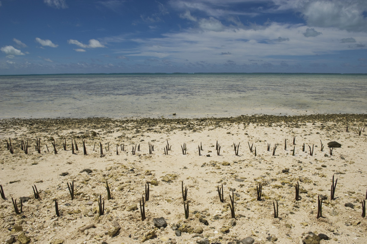 A  view of mangrove shoots planted by Secretary-General Ban Ki-Moon and  others on Tarawa, an atoll in the Pacific island nation of Kiribati. (Photo: United Nations Photo)