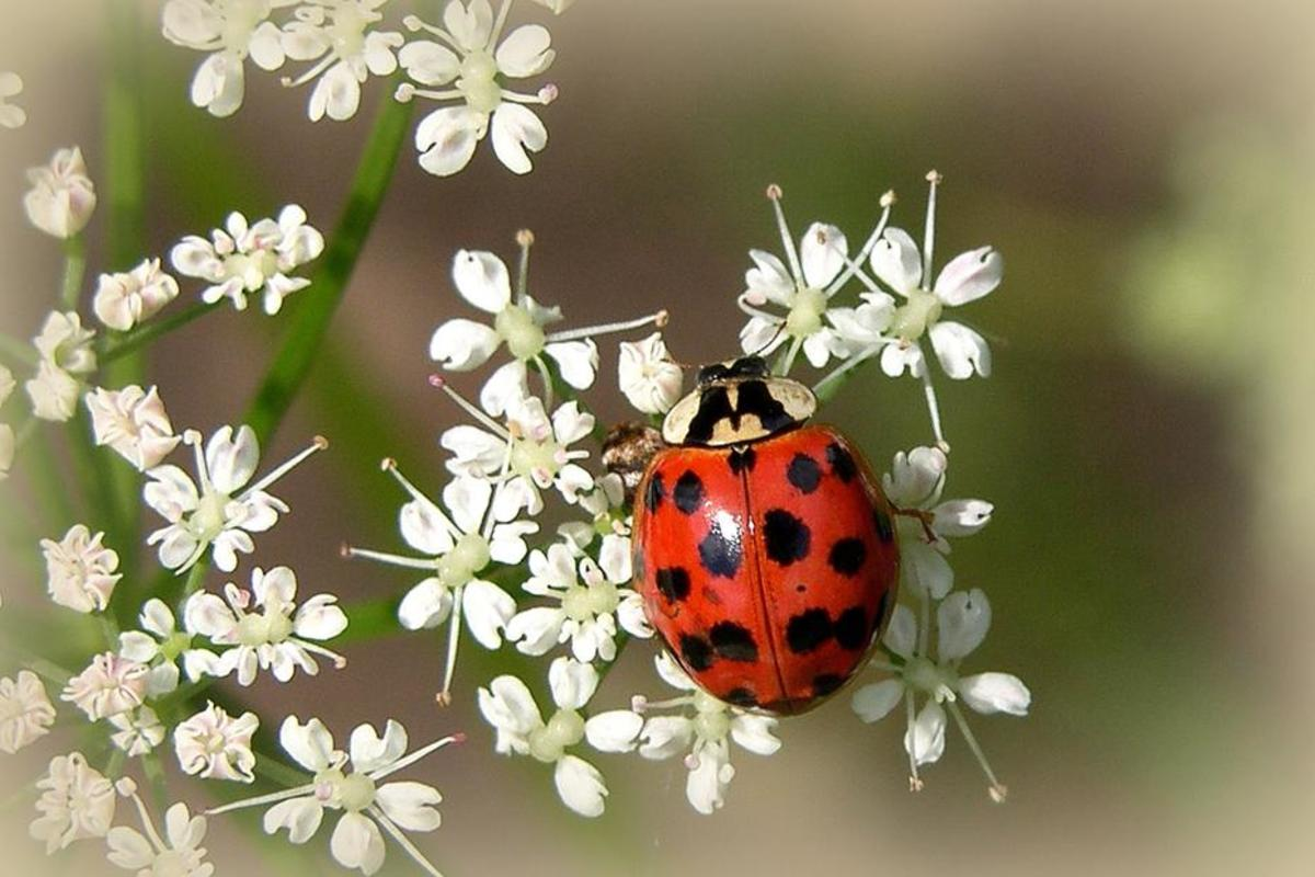 The multicolored Asian lady beetle, also  known as the harlequin ladybird, was registered for the first time in  Denmark during the 18 years of monitoring at a rooftop in Copenhagen. It  is now considered invasive in Denmark. (Photo: n.a.t.u.r.e /Flickr)