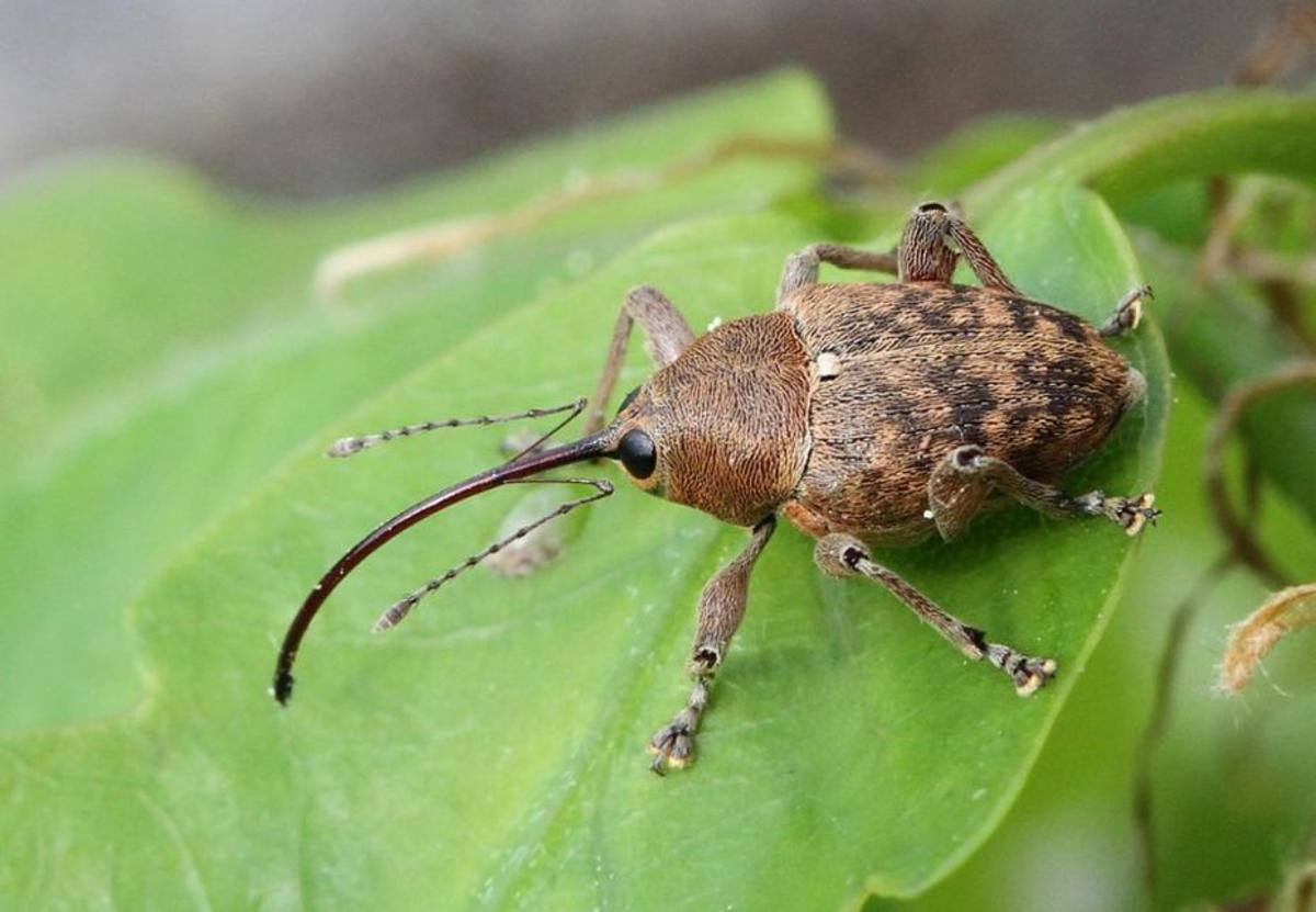 Specialized insects such as the acorn weevil seem to be the most sensitive to climate change in Europe, the study shows. (Photo: Klaus Bek)