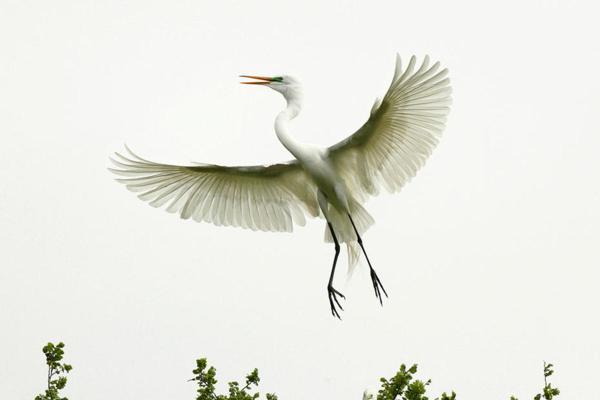 Great egrets were a prime target of hatmakers. (Photo: TexasEagle/Flickr)