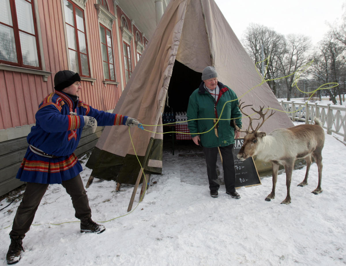 sami reindeer in the village
