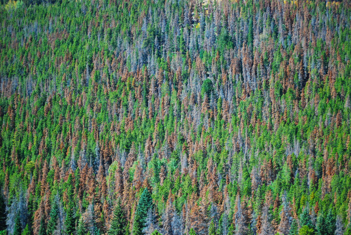 Mountain pine beetle damage. (Photo: Don Becker/USGS)