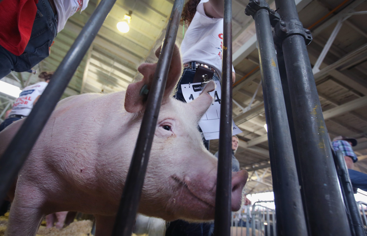 A pig waits to enter the arena for the hog judging competition at the Iowa State Fair on August 7, 2014, in Des Moines, Iowa. (Photo: Scott Olson/Getty Images)
