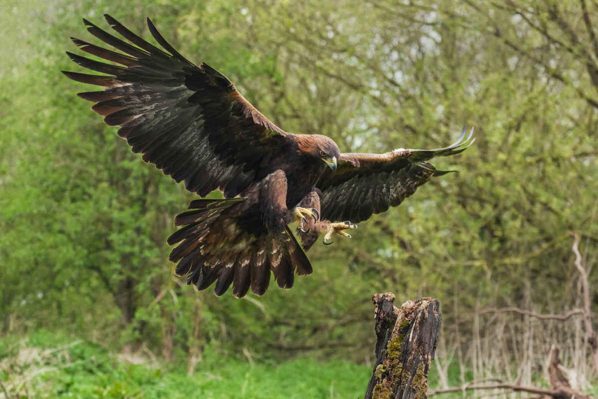 A golden eagle prepares to land on a tree stump. (Photo: Ian Duffield/Shutterstock)