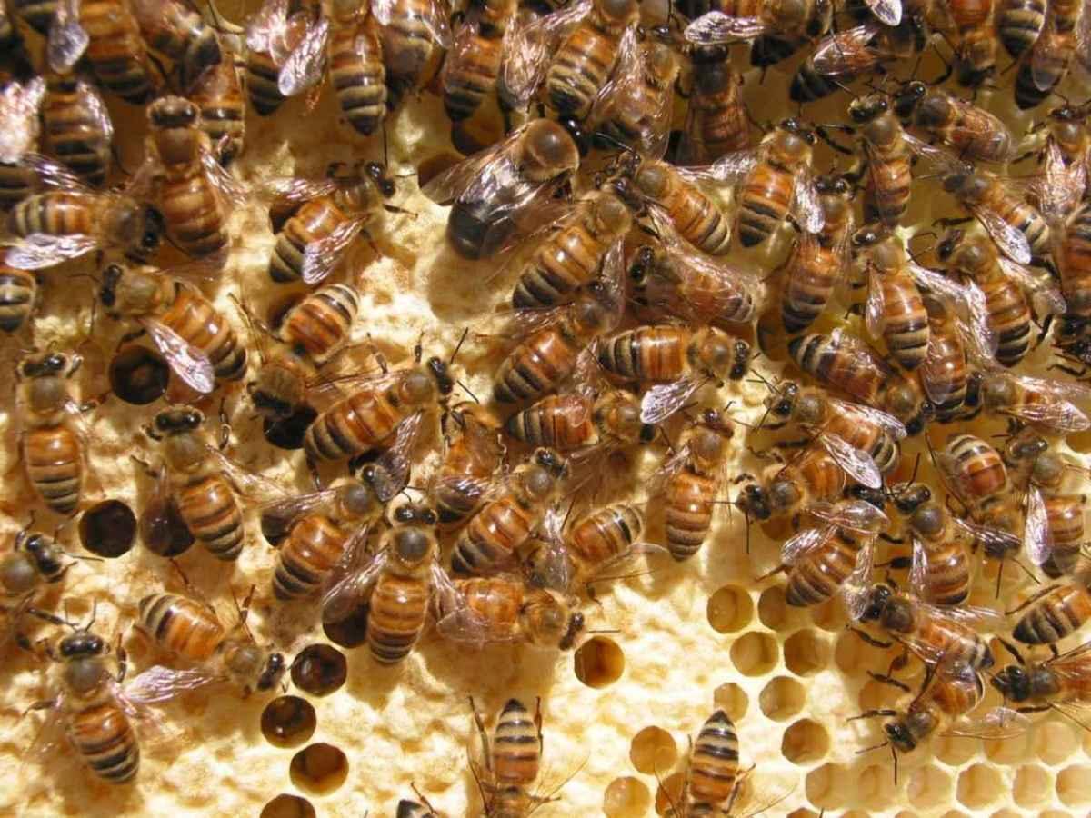Honeybees. (Photo: dni777/Flickr)