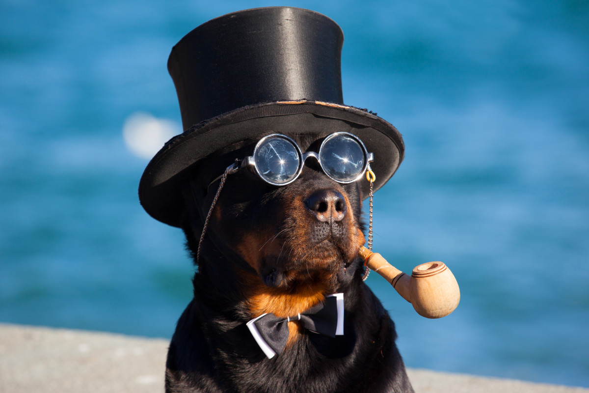 A decidedly clever dog. (Photo: Sergii Votit/Shutterstock)