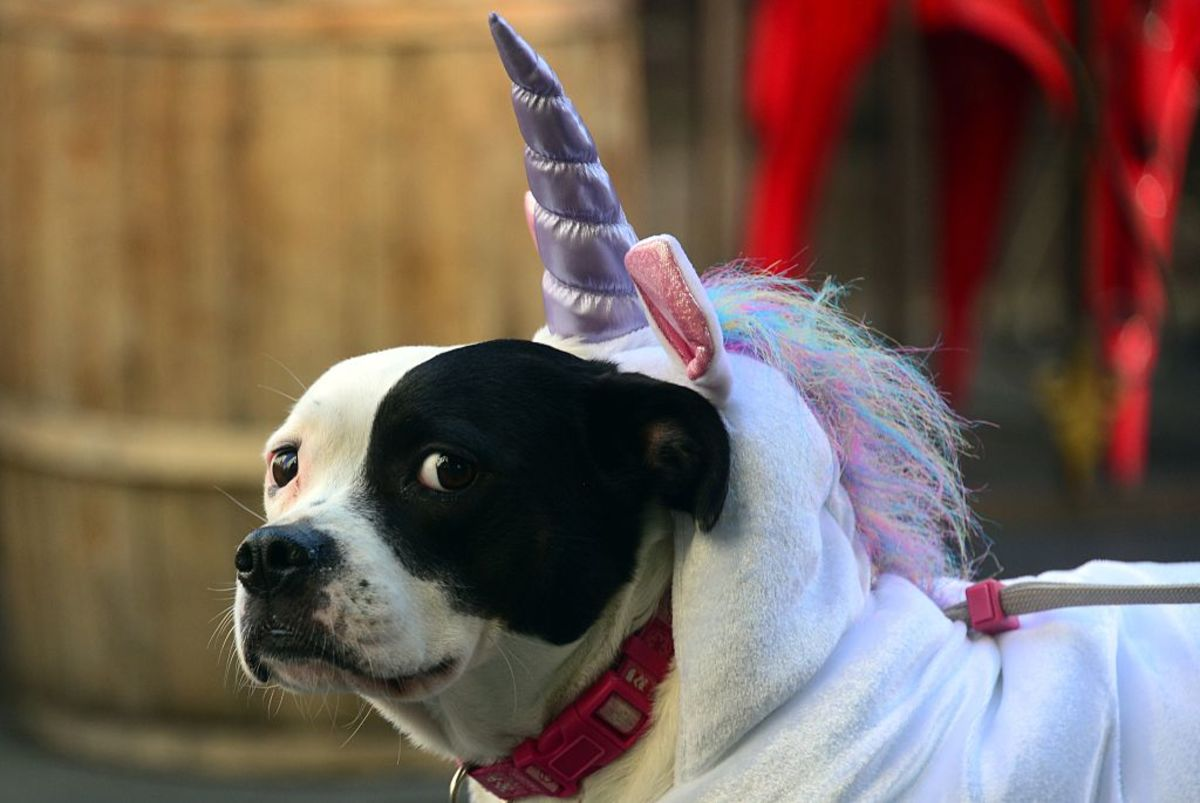 Terrier-Pitbull mix Parker, dressed as a unicorn for Halloween. (Photo: Frederic J. Brown/AFP/Getty Images)