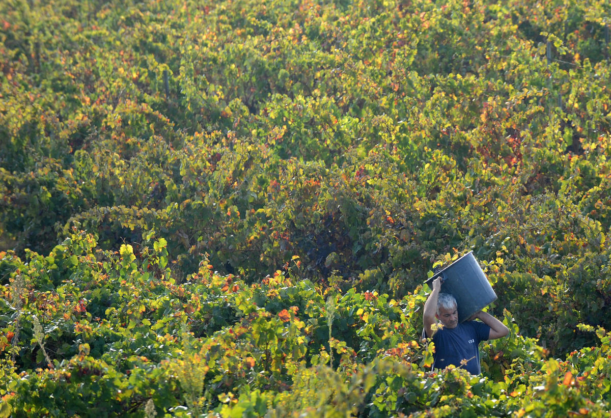 An inmate picks grapes on a vineyard. (Photo: Francisco Leong/AFP/Getty Images)