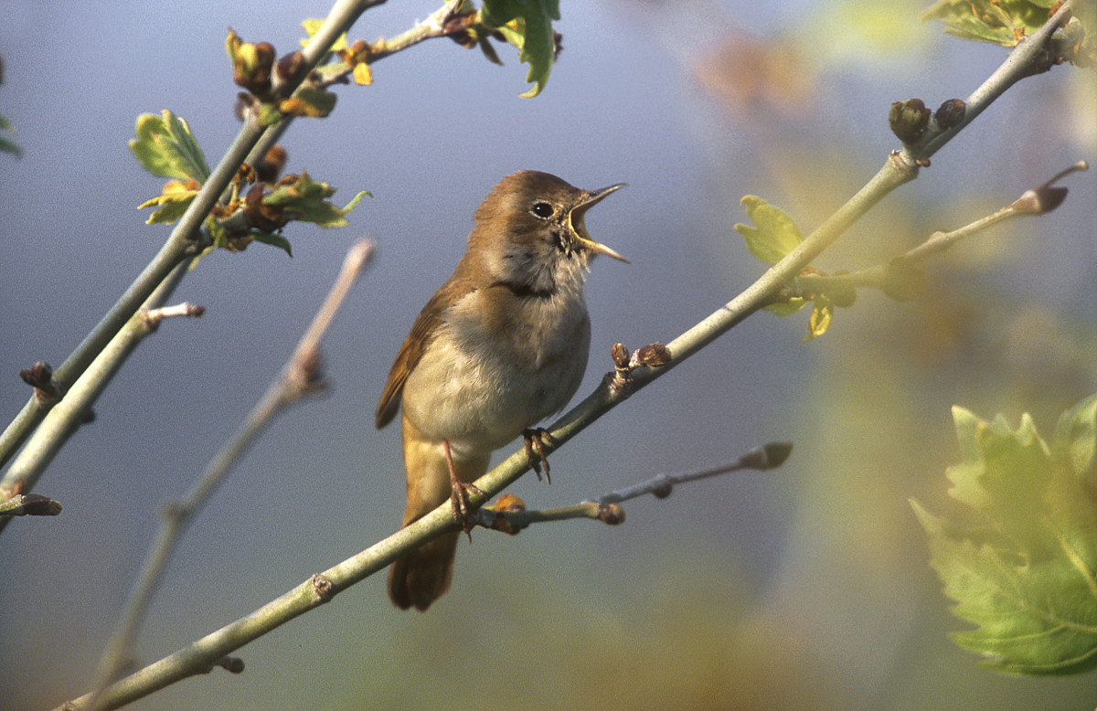 A nightingale singing on a branch. (Photo: Erni/Shutterstock)