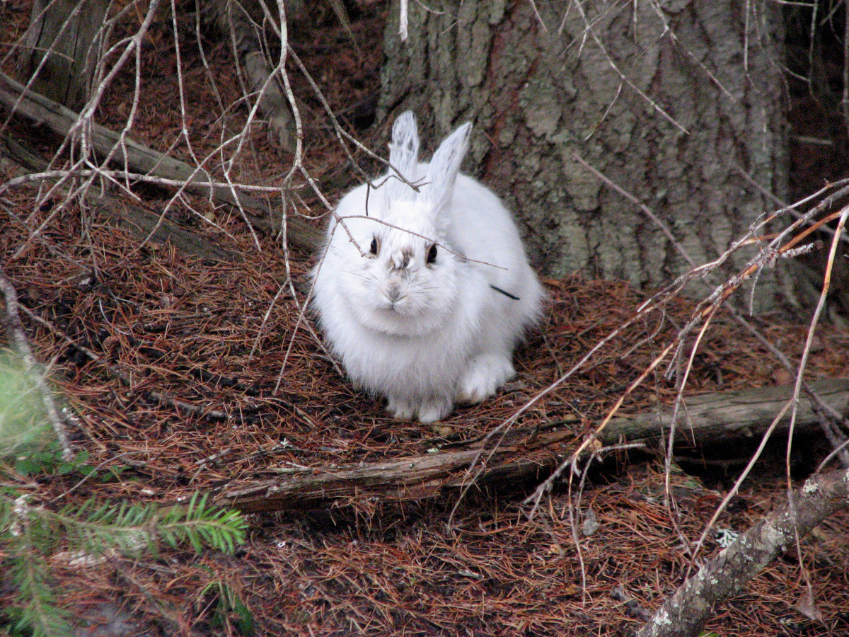 A snowshoe hare wearing its white winter coat in the springtime in Seeley Lake, Montana. (Photo: Dr. L. Scott Mills Research)