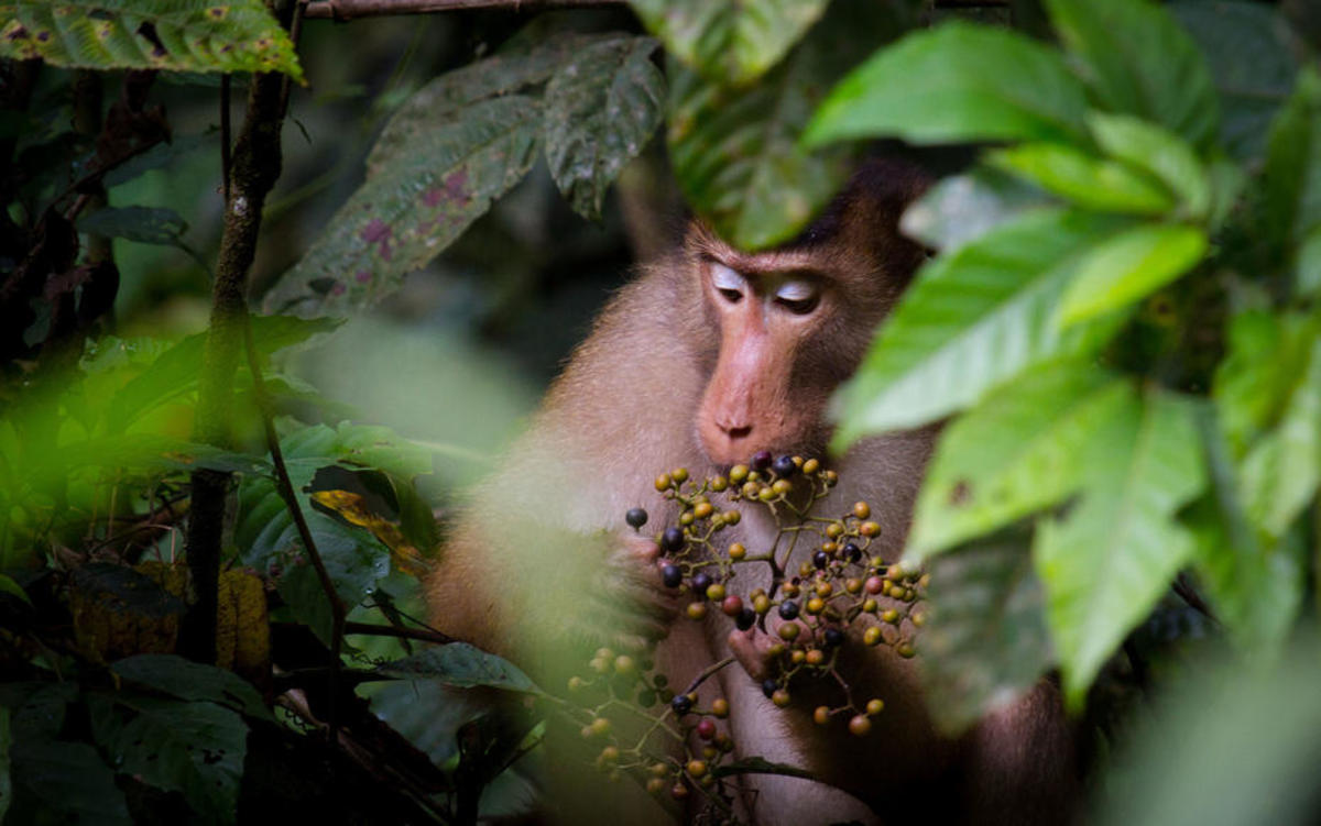 A southern pig-tailed macaque feeding in the Borneo rainforest. (Photo: Paul Williams/Flickr)