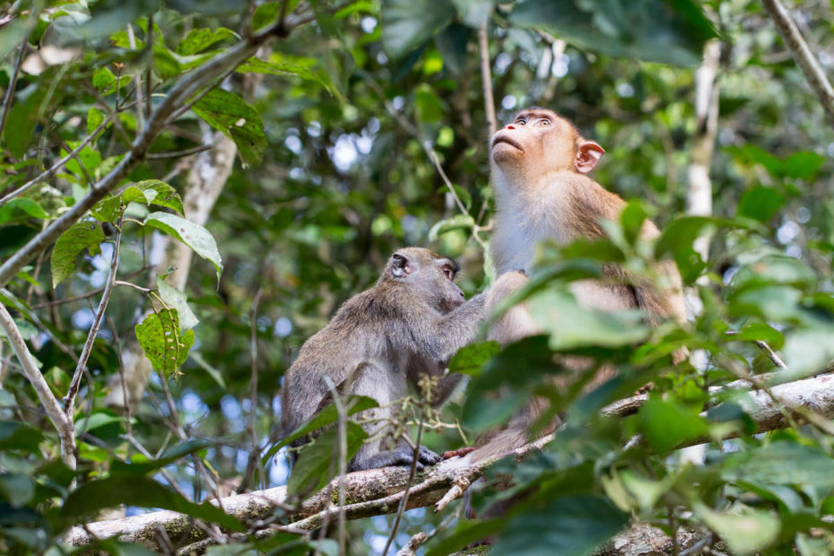 A long-tailed macaque grooms a pig-tailed macaque. (Photo: Gido/Flickr)